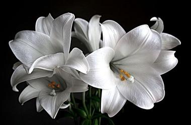 Białe lilie - fototapeta
