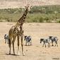 Obraz na płótnie canvas trzyczęściowy tryptyk żyrafa masajska