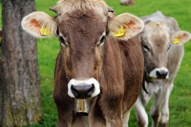 Fototapeta dwie krowy fp 2708