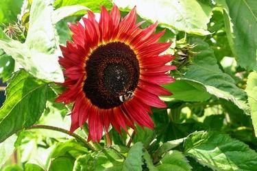 Fototapeta owad chodzący po słoneczniku fp 774