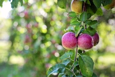 Fototapeta gałąź jabłoni z owocami fp 847