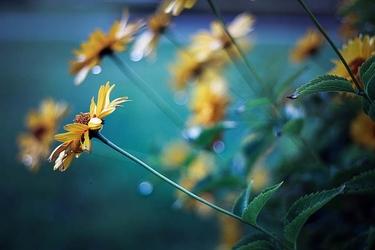 Żółte kwiaty na niebieskim tle - plakat premium wymiar do wyboru: 84,1x59,4 cm