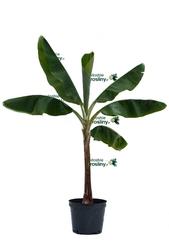 Bananowiec musa acuminata dwarf cavendish drzewo