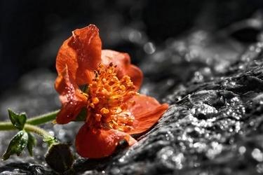 Fototapeta kwiat, mak 309