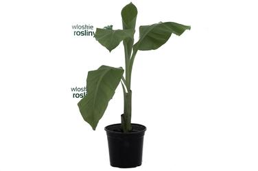 Bananowiec ensete ventricosum duże drzewko