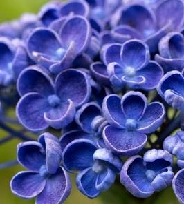 Rarytas hortensja hopcorn unikatowa forma kwiatów