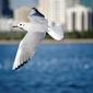 Fototapeta mewa lecąca na tle miasta i oceanu fp 2706