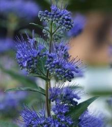 Niebieska barbula kew blue kwitnie cały sezon