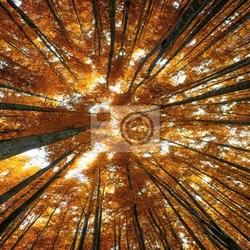 Fototapeta wielkie buki jesienią