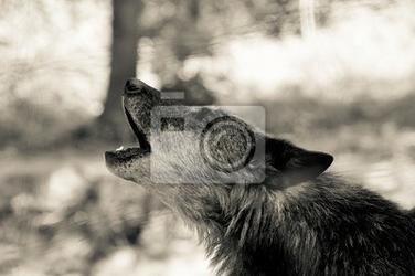 Fototapeta wilk hawling w lesie