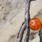Dragon ball - smocza kula - plakat wymiar do wyboru: 59,4x42 cm