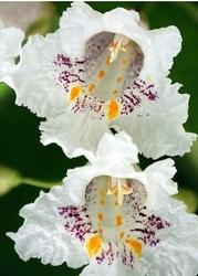 Miodajna surmia czyli katalpa storczykowe kwiaty