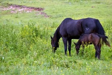 Fototapeta klacz z kucykiem skubiąca trawę fp 3028
