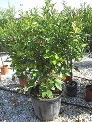 Cytryna florentina