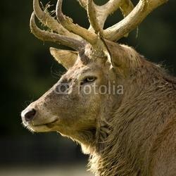 Naklejka samoprzylepna jeleń