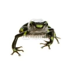 Naklejka samoprzylepna grenouille - dendrobates auratus