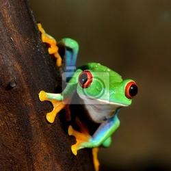 Obraz red -eye frog agalychnis callidryas w terrarium