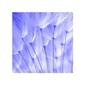 Blue dandelion seeds - reprodukcja