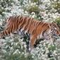 Fototapeta tygrys wędrujący przez białe trawy fp 2548