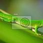 Obraz green gecko