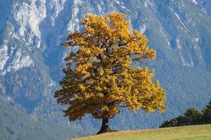 Fototapeta na ścianę samotne jesienne drzewo fp 3312