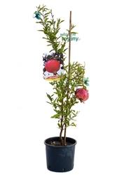 Granatowiec właściwy krzew