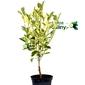 Kalamondyna variegata krzew