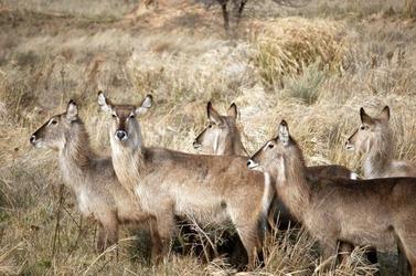 Fototapeta zwierzęta afryki fp 2609