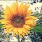 Helianthus annuus - plakat premium wymiar do wyboru: 100x70 cm