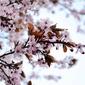 Fototapeta malownicza gałąź obsypana kwiatami fp 817