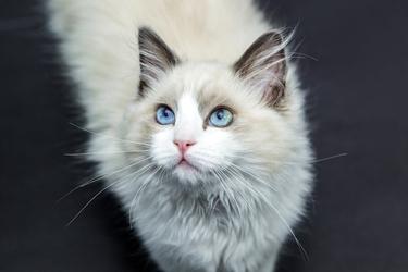 Fototapeta rasowy kot fp 3038