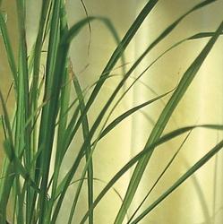 Trawa cytrynowa east indian – całoroczna – kiepenkerl