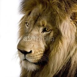 Tapeta ścienna lew 4 i pół roku - panthera leo