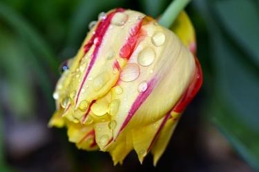 Fototapeta krople rosy na płatkach tulipana fp 441