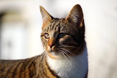 Fototapeta na ścianę spoglądający kot fp 2403