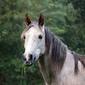 Fototapeta koń z trawą w pysku fp 2577