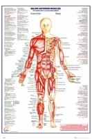 Ciało Człowieka - Przód - Mięśnie wersja angielska - plakat