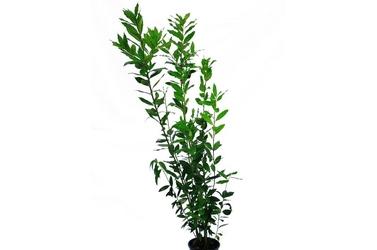 Laur, wawrzyn szlachetny duży krzew