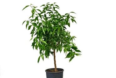 Mandarynka deliciosa drzewko