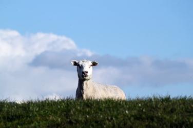 Fototapeta owca zza horyzontu fp 2715