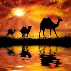 Plakat na papierze fotorealistycznym wielbłądy na pięknym tle zachodu słońca