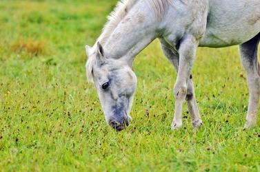 Fototapeta szary koń pasący się na łące fp 2742