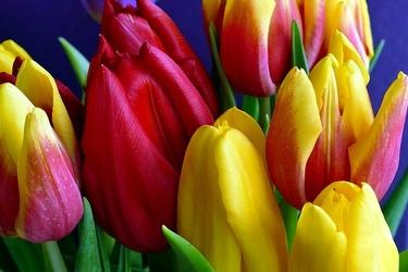 Fototapeta bukiet kolorowych tulipanów fp 530