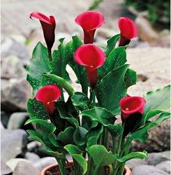 Zantedeschia kalla red alert – 1 szt.