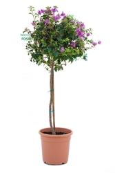 Bugenwilla drzewo