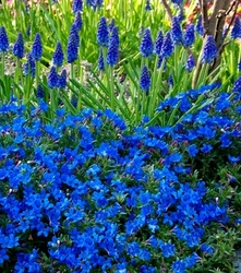 Litodora rozpostarta heavenly blue niebieskie pole kwiatów