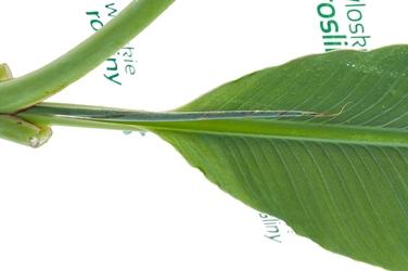 Bananowiec musella lasiocarpa duże drzewo