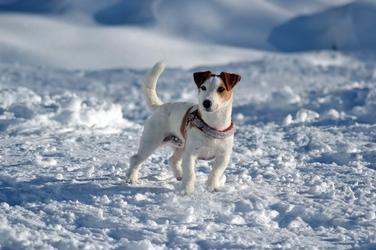 Fototapeta na ścianę pies stojący w śniegu fp 2864