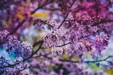 Kwiaty judaszowca - plakat wymiar do wyboru: 91,5x61 cm