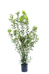 Laur, wawrzyn szlachetny ogromny krzew